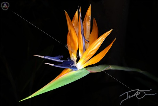Solitary Bird of Paradise